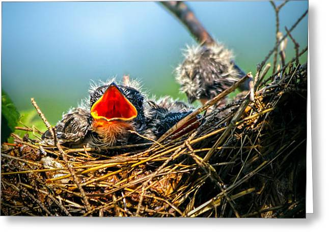 Hungry Tree Swallow Fledgling In Nest Greeting Card by Bob Orsillo