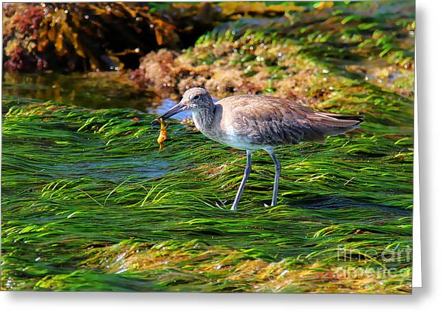Algae Greeting Cards - Hungry Willet Greeting Card by Mariola Bitner