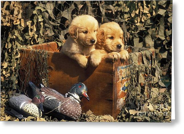 Golden Retriever Puppies Greeting Cards - Hunting Buddies - FS000130 Greeting Card by Daniel Dempster