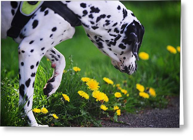 Gun Dog Greeting Cards - Hunting. Dalmation. Kokkie Greeting Card by Jenny Rainbow