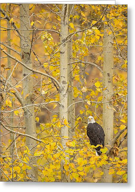 Haliaeetus Leucocephalus Greeting Cards - Hunting from an Aspen Greeting Card by Tim Grams