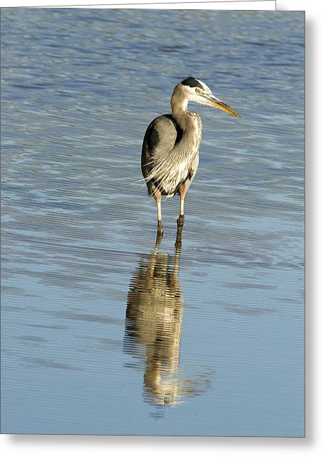 Hunting Bird Greeting Cards - Hunting Great Blue Heron Greeting Card by Jean Noren