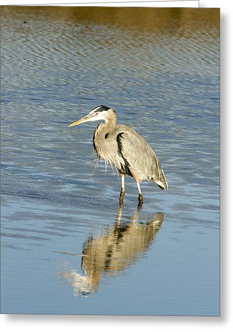 Hunting Bird Greeting Cards - Hunting Heron Greeting Card by Jean Noren