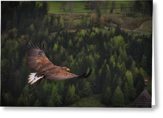 Falcon Hunting Greeting Cards - Hunting  Greeting Card by Mountain Dreams
