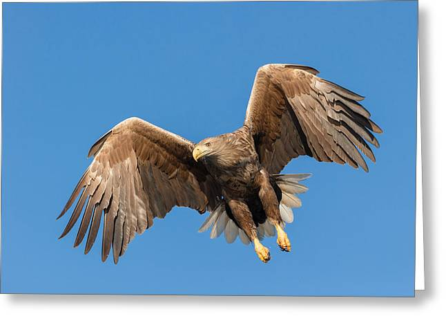 Predating Greeting Cards - Hunting Sea Eagle Greeting Card by Andy Astbury