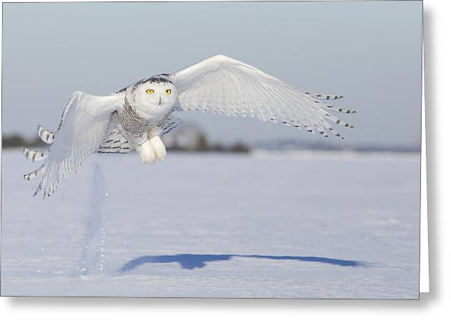 Hunting Snowy Owl Greeting Card by Mircea Costina Photography