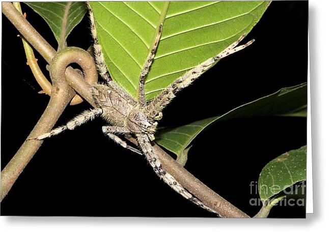 Huntsman Photographs Greeting Cards - Huntsman Spider, Borneo Greeting Card by Louise Murray