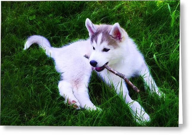 Playing Digital Greeting Cards - Huskie Pup Playing Fetch Greeting Card by Bill Cannon