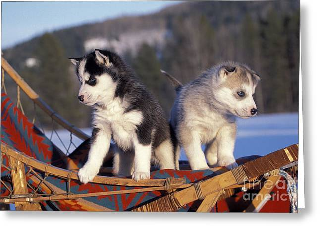 Huskies On A Sled Greeting Card by Rolf Kopfle