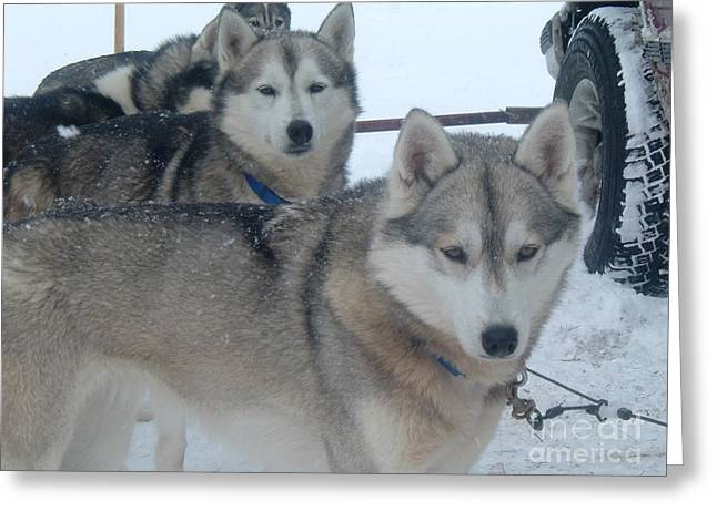Huskies Pyrography Greeting Cards - Huskies waiting to go for a run Greeting Card by Susan Russo