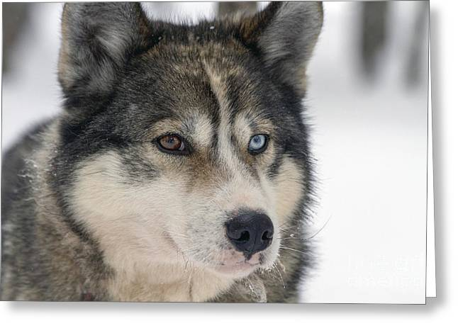 Huskies Photographs Greeting Cards - Husky dog breading centre Greeting Card by Lilach Weiss