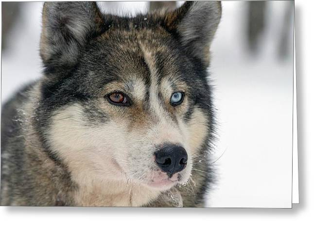 Husky Dog Breading Centre Greeting Card by Photostock-israel