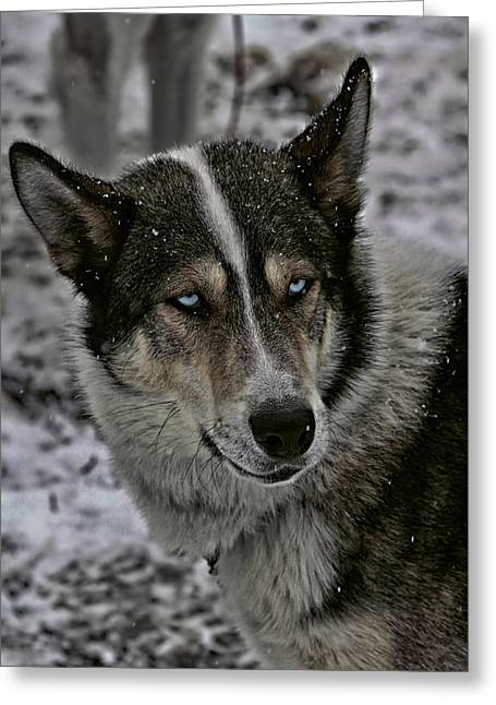 Huskies Photographs Greeting Cards - Husky Dog of the Sled Greeting Card by Mountain Dreams
