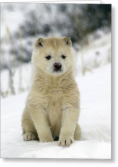 Huskies Photographs Greeting Cards - Husky Dog Puppy Greeting Card by M. Watson