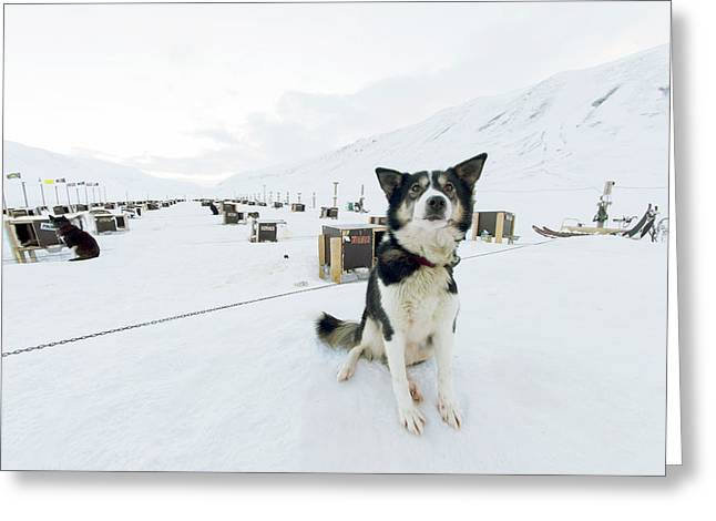 Husky Dogs And Kennels Greeting Card by Louise Murray