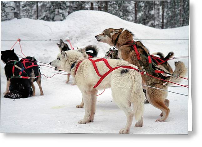Husky Dogs Pull A Sledge Greeting Card by Photostock-israel
