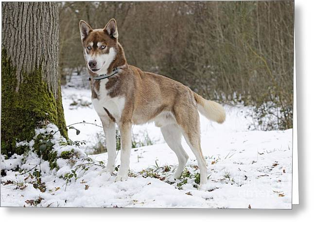 Husky In Snow Greeting Card by John Daniels