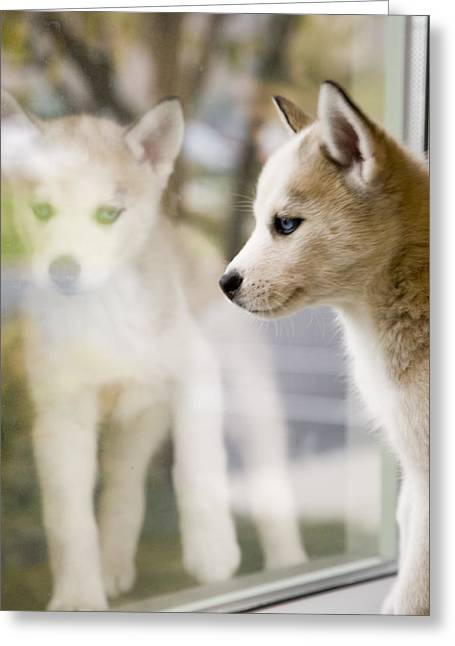 Husky Greeting Cards - Husky in the Window Greeting Card by Susan Stone