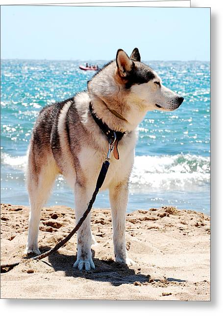 Husky Dog Greeting Cards - Husky on the beach Greeting Card by Gina Dsgn