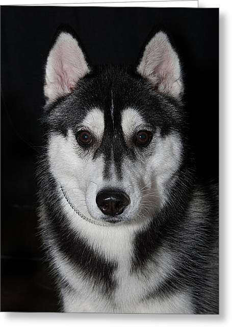 Recently Sold -  - Husky Greeting Cards - Husky Portrait Greeting Card by Jodi Jacobson