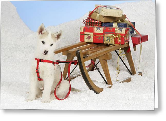 Husky Puppy Greeting Cards - Husky Puppy At Christmas Greeting Card by John Daniels
