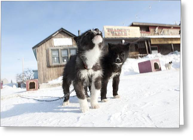 Huskies Photographs Greeting Cards - Husky sled dog puppies Greeting Card by Science Photo Library