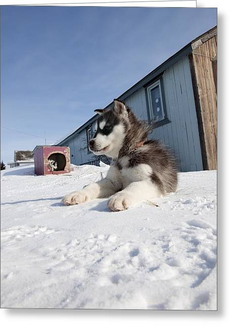 Huskies Photographs Greeting Cards - Husky sled dog puppy Greeting Card by Science Photo Library