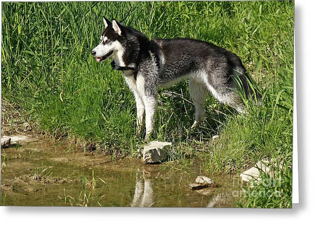 Shelley Myke Greeting Cards - Husky Watching a Duck Swim By Greeting Card by Inspired Nature Photography By Shelley Myke