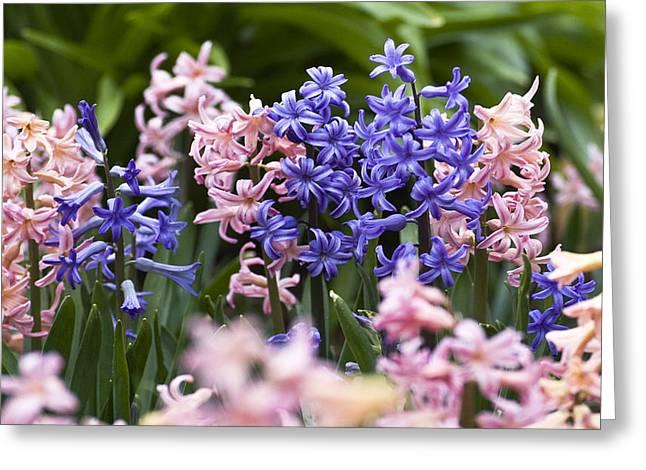 Hyacinth Garden Greeting Card by Frank Tschakert