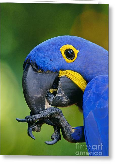 Animal Body Part Greeting Cards - Hyacinth Macaw Anodorhynchus Greeting Card by Frans Lanting MINT Images