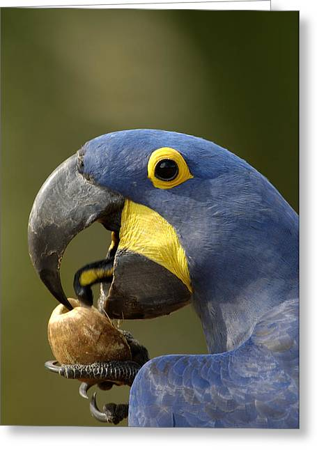 Macaw Profile Greeting Cards - Hyacinth Macaw Cracking Piassava Palm Greeting Card by Pete Oxford