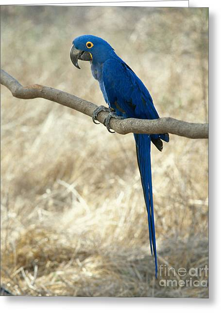 Macaw Greeting Cards - Hyacinth Macaw Greeting Card by Hans Reinhard