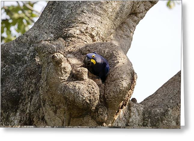 Hyacinth Macaw Greeting Cards - Hyacinth macaw in a tree Greeting Card by Science Photo Library