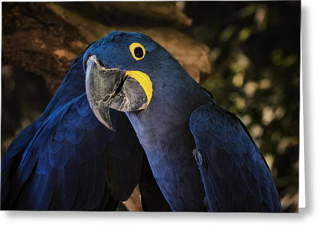 Mccaw Greeting Cards - Hyacinth Macaw Greeting Card by Joan Carroll