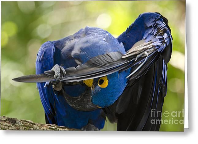 Hyacinth Macaw Greeting Cards - Hyacinth Macaw Greeting Card by Mark Newman