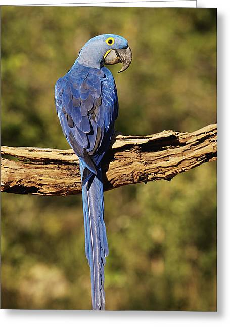 Macaw Profile Greeting Cards - Hyacinth Macaw Piaui Brazil Greeting Card by Pete Oxford