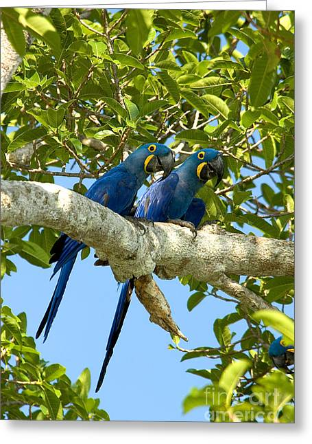 Macaw Greeting Cards - Hyacinth Macaws Brazil Greeting Card by Gregory G Dimijian MD