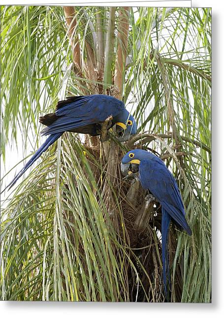 Hyacinth Macaw Greeting Cards - Hyacinth macaws feeding Greeting Card by Science Photo Library