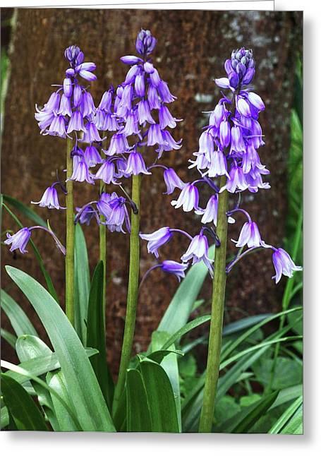 Hyacinthoides Hispanica Flowers Greeting Card by Brian Gadsby