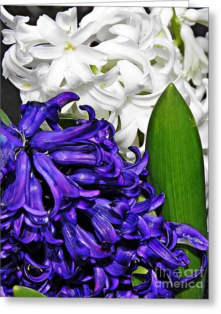 Sarah Loft Greeting Cards - Hyacinths Greeting Card by Sarah Loft