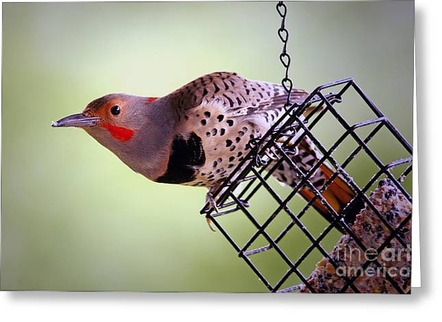 Flashy Greeting Cards - Hybrid Red Shafted Northern Flicker male Greeting Card by Sharon  Talson