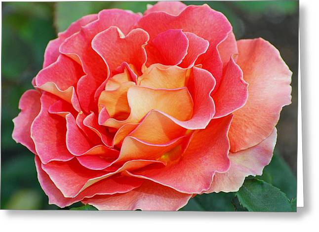 Pink Blossoms Greeting Cards - Hybrid Tea Rose  Greeting Card by Lisa  Phillips