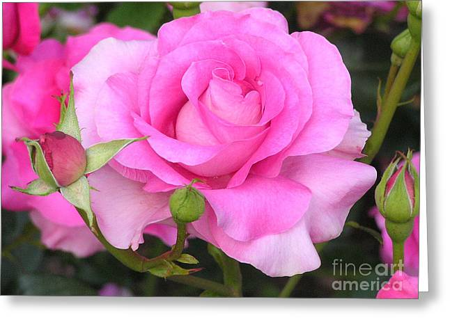 Ruth Housley Greeting Cards - Hybrid Tea Rose Greeting Card by Ruth  Housley