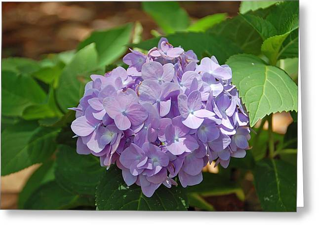 Pretty Flowers Greeting Cards - Hydrangea Greeting Card by Aimee L Maher Photography and Art