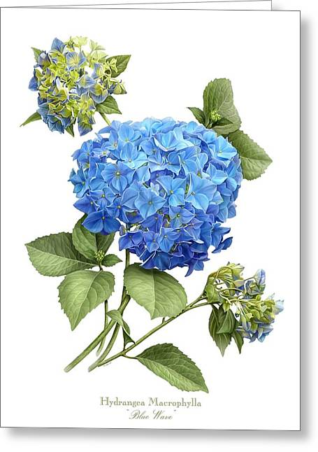 Botanical Greeting Cards - Hydrangea Blue Wave Greeting Card by Artellus Artworks