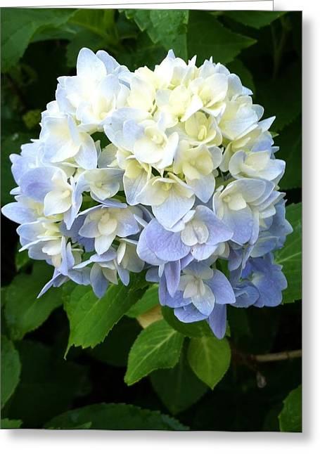 Hydrangea In Bloom Greeting Card by Amanda Vann