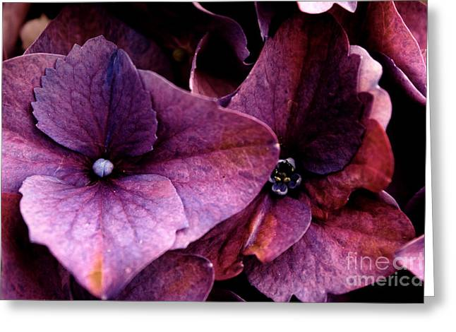 Colrful Greeting Cards - Hydrangea in Lavender Greeting Card by Steven Parker