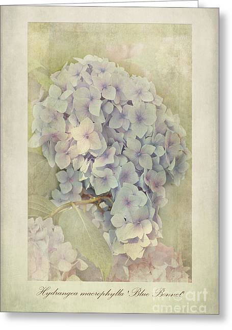 Stamen Greeting Cards - Hydrangea macrophylla Blue Bonnet Greeting Card by John Edwards