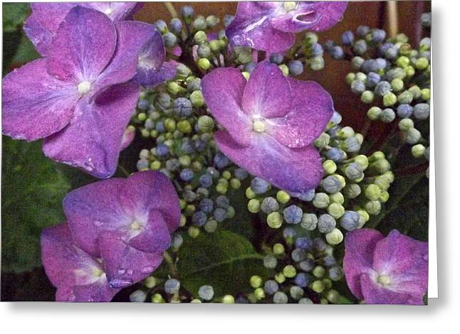 Marijo Fasano Greeting Cards - Hydrangea Greeting Card by Marijo Fasano