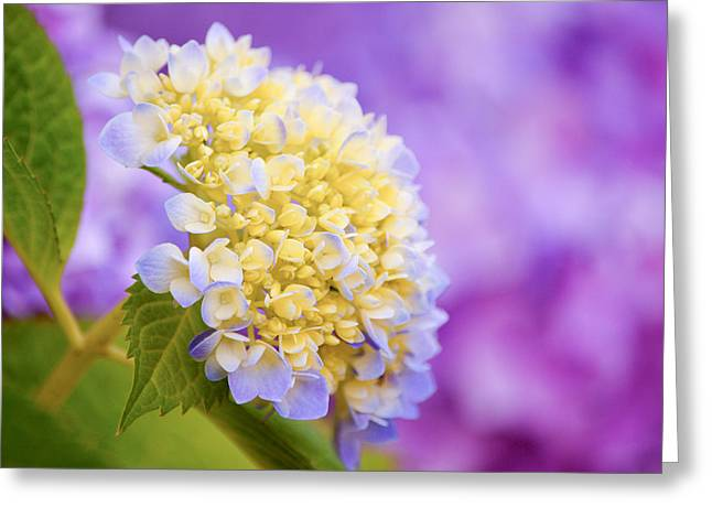 Purple Hydrangeas Greeting Cards - Hydrangea on Purple Greeting Card by Parker Cunningham